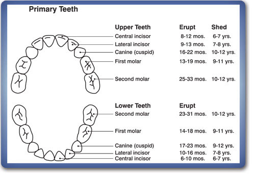 Dr. Vivian Bae DDS » Dental Anatomy